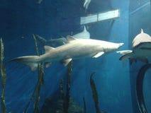 Große Haifische, die im Wasser an einem Aquarium mit anderen Fischen schwimmen Lizenzfreie Stockfotos