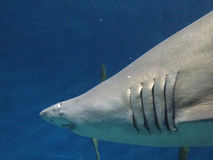 Große Haifische, die im Wasser an einem Aquarium mit anderen Fischen schwimmen Stockfotos