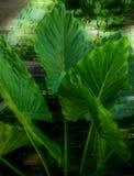 Große hellgrüne Blattnahaufnahme stockbilder