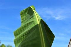 Große hellgrüne Blattnahaufnahme Lizenzfreies Stockfoto