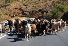 Goatherd auf Gebirgsstraße, Spanien. Lizenzfreies Stockbild