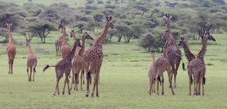 Große Herde des Giraffegehens Stockfotografie