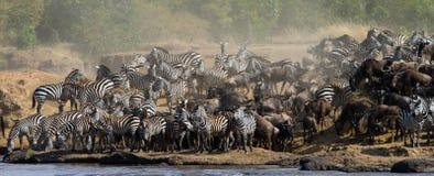 Große Herde des Gnus ist über Mara River Große Systemumstellung kenia tanzania Masai Mara National Park stockbild