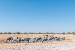 Große Herde von afrikanischen Elefanten, Loxodonta africana, an einem waterh Lizenzfreies Stockbild