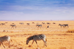 Große Herde von den afrikanischen Zebras, die an der Kenyanebene gehen Stockfoto
