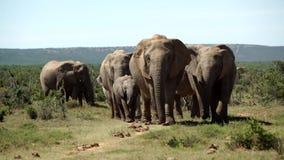 Große Herde von den Elefanten, die in Richtung zur Kamera im Nationalpark addo Elefanten gehen stock video