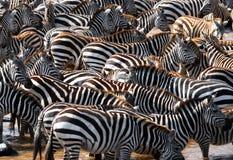 Große Herde von den Zebras, die vor dem Fluss stehen kenia tanzania Chiang Mai serengeti Maasai Mara Lizenzfreie Stockbilder