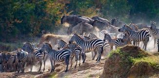 Große Herde von den Zebras, die vor dem Fluss stehen kenia tanzania Chiang Mai serengeti Maasai Mara Lizenzfreies Stockfoto