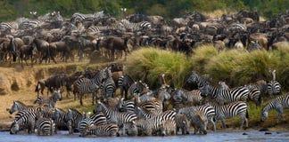 Große Herde von den Zebras, die vor dem Fluss stehen kenia tanzania Chiang Mai serengeti Maasai Mara Lizenzfreies Stockbild