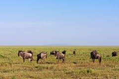 Große Herden in Serengeti Tansania, Eastest Afrika Lizenzfreies Stockfoto