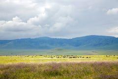 Große Herden von den wilden Tieren, die im Tal weiden lassen Lizenzfreies Stockfoto