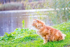 Große herrliche rote Maine Coon Cat, die nahe dem See sitzt und auf die Enten wartet Stockbild