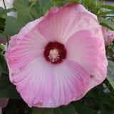 Große Hibiscusblüte Stockbild