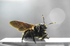 Große Honigbiene mit beleuchteten Hörnern Lizenzfreie Stockfotografie