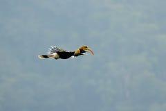 Große Hornbill Buceros bicornis stockbild