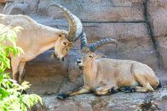 Große Hornziege - Nubian-Steinbock lizenzfreie stockfotos