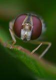 Große Hoverfly-Augen Stockbilder