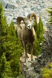 Große Hupe Schafe Lizenzfreies Stockbild