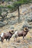Große Hupen-Schaf-RAMas Lizenzfreies Stockbild