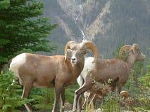 Große Hupen-Schafe Stockfotos