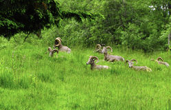 Große Hupen-Schafe lizenzfreie stockfotos