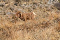 Große Hupen-Schafe Stockfoto