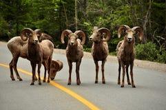 Große Hupen-Schafe auf Straße Stockfotos