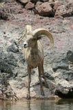 Große Hupen-Schafe entlang Kolorado-Fluss Lizenzfreies Stockfoto