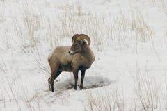 Große Hupen-Schafe im Schnee Lizenzfreies Stockfoto