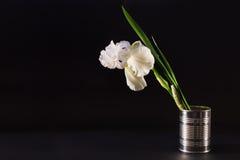Große Iris der weißen Blume in einem Zinn auf einem schwarzen Hintergrund Lizenzfreies Stockbild