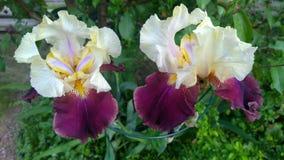 Große Irisblume mit den verschiedenen Blumenblättern im Garten Lizenzfreie Stockfotos