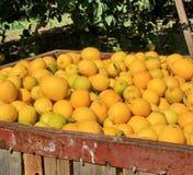 Große Kästen gefüllt mit Zitronen Stockbild