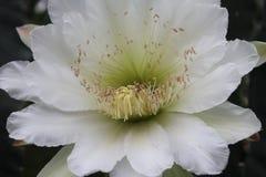 Große Kaktusblumenblüte Lizenzfreie Stockfotos