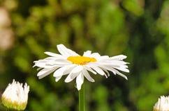 Große Kamillenblume, die im Garten blüht Lizenzfreie Stockfotografie