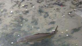 Große Karpfenart Fischschwimmen in einem klaren Fluss mit den Kirschblumenblättern, die entlang die Oberfläche schwimmen stock video