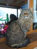 Große Katze im Fenster Lizenzfreie Stockfotografie