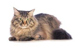 Große Katze norvegian, katzenartig mit dem langen Haar lizenzfreie stockbilder