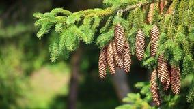 Große Kiefer-Kegel, die an einem Baumzweig hängen Stockfotografie