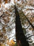 Große Kiefer unter der Herbstsaison Lizenzfreie Stockbilder