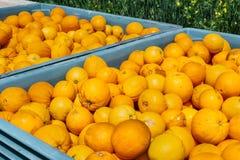 Große Kisten voll von den organischen Orangen, Süd-San Francisco Bay Bereich San Jose, Kalifornien stockbild