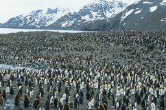 Große Kolonie von Pinguinen stockbild