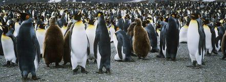 Große Kolonie von Pinguinen lizenzfreie stockfotografie