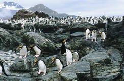 Große Kolonie von Pinguinen auf Felsen stockfotos
