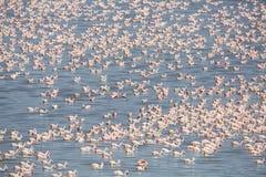 Große Kolonie von rosa Flamingos in Afrika Lizenzfreie Stockfotografie