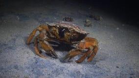 Große Kräuterkrabbe Grüne Krabbe Carcinus-maenas stock footage