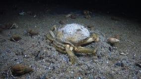 Große Kräuterkrabbe Grüne Krabbe Carcinus-maenas stock video footage
