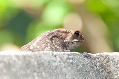 Große Kröte, die 2 sitzt und schaut Stockfoto