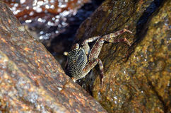 Große Krabbe auf dem Felsen durch das Meer Lizenzfreies Stockfoto