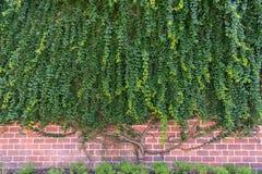 Große Kriechpflanzenanlage, die auf Wand wächst stockfotografie