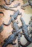 Große Krokodile in Kambodscha lizenzfreie stockfotografie